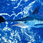Cap Cana destino comprometido con la preservación de las especies Marlín y del Pez Vela